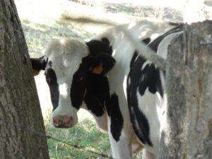 vache-blanc-noir-Karim-TATAI-aout-2019